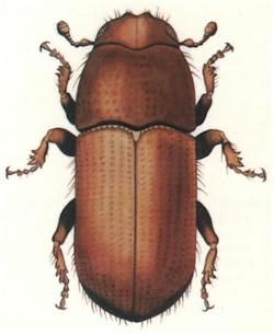 Beetle01