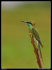Green bee-eater875095846_cef457edfc_m
