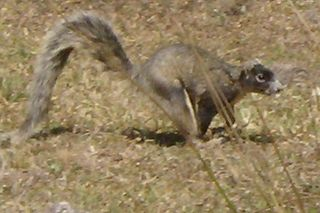 WeaselSquirrelMink3