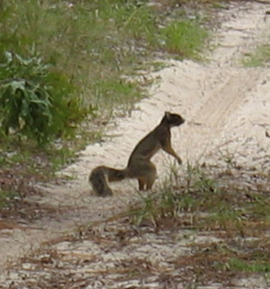 Shermans_fox_squirrel_2